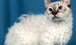 Скукум 🐈 фото кошки, история и описание породы, характер, уход