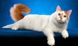 Анатолийская кошка 🐈 фото, описание породы, характер, уход, стандарты