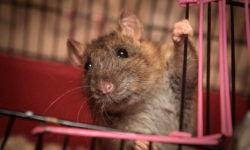 Клетка для крыс: правила выбора и обустройства (фото)