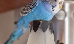 Как поймать попугая в комнате: лучшие способы