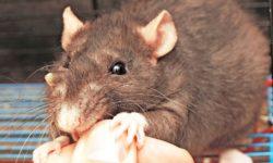 Как отучить домашнюю крысу кусаться: инструкция