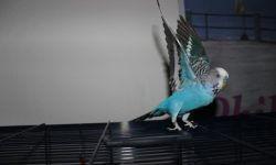 Адаптация волнистого попугая после покупки: что нужно знать