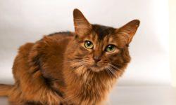 Атония мочевого пузыря у кота - симптомы и лечение