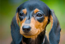 Карликовая такса (миниатюрная такса, мини-такса) — описание породы собаки от А до Я