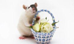 Сколько лет живут декоративные крысы в домашних условиях