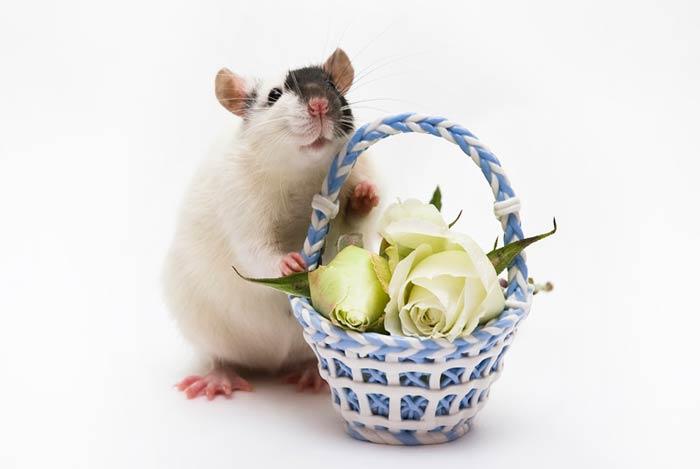 также открытка крыса поздравляет только банкетки