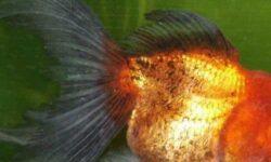 Болезни золотой рыбки: плавает кверху брюхом, лежит на дне, отваливаются чешуйки, облез хвост, всплывает, отрастают ли плавники, плавает на боку, лежит на дне, тяжело дышит, плавниковая гниль, почернели края, покрылась красными пятнами