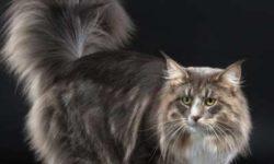 Норвежская лесная кошка 🐈 фото, характер. История и описание породы, уход, цена
