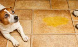 Собака гадит дома: как отучить взрослую собаку или щенка
