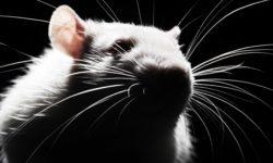 Как усыпить крысу в домашних условиях и в клинике