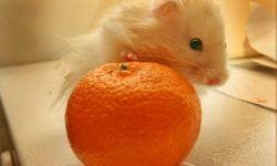 Можно ли хомякам нектарин, апельсин, мандарин или манго