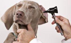 Ушные капли для собак: 10 самых эффективных средств от отита, правила использования