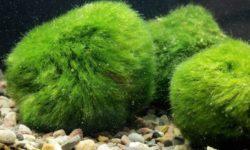 Кладофора шаровидная: описание водоросли, особенности размножения и содержания растения в аквариуме