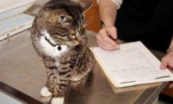 Перитонит у кошек: симптомы, лечение и профилактика