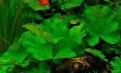 Нимфея в аквариуме (красная, тигровая, зеленая): посадка и уход за растением аквариумная кувшинка, виды, содержание
