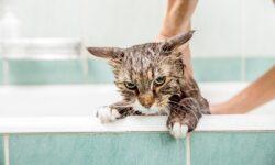 Шампунь от блох для кошек: какой лучше выбрать, как действует противоблошиное моющее средство?