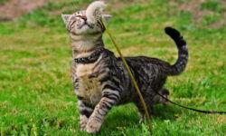 Шлейка для кошки, инструкция по применению: как собрать и надеть на кота?