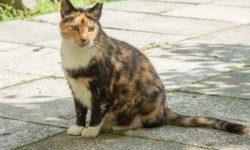 4 признака, что кошка беременна первый раз