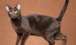 Тонкинская кошка 🐈 фото, история и описание породы, характер, уход