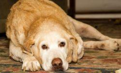 Микоплазмоз у собак: симптомы, лечение и опасность для человека