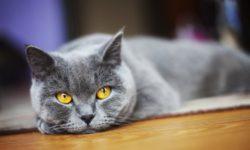 Сколько лет живут кошки в домашних условиях по породах