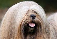 Лхаса апсо: все о собаке, фото, описание породы, характер, цена