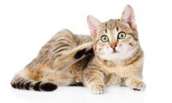 6 симптом паразитов у кошек и способы лечения