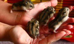 Размножение джунгарских хомяков в домашних условиях: информация о разведении и спаривании