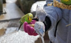 Как быстро и правильно приручить попугая
