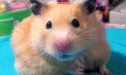 Королевский хомяк (фото)