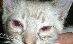 Хламидиоз у кошек: опасен ли для человека, симптомы, лечение