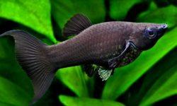 Моллинезия черная: размножение в домашних условиях, частота нереста, правила ухода за мальками