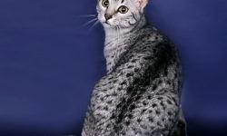 Египетская мау 🐈 фото кошки, история и описание породы, характер, уход
