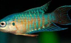 Макропод: содержание и уход, совместимость аквариумной рыбки, виды (обыкновенный, голубой), родина рыбки, китайский, как узнать пол, разведение