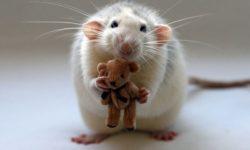 Часто задаваемые вопросы о домашних крысах