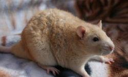 Крыса рекс (фото) - кудрявая разновидность декоративного питомца