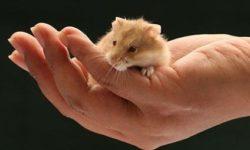 Как приучить хомяка к рукам, приручение джунгарских и сирийских хомячков
