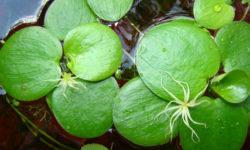 Лимнобиум побегоносный: описание растения, особенности содержания и размножения в аквариуме