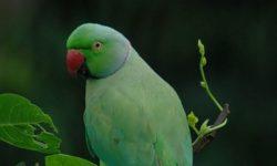 Ожереловый попугаи | Описание, содержание, питание попугая