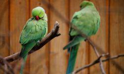 Несколько причин, почему ваш любимый попугай дрожит