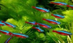 Рыбка красный неон (paracheirodon axelrodi): содержание, разведение, фото, кормление, поведение, отличия самца от самки