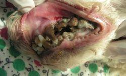 Зубной камень у собак: как убрать в домашних условиях, как удалить, спрей