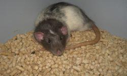 Наполнитель для крыс (подстилка в клетку): сравнительная таблица
