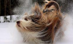 Перхоть у собак: причины и лечение, что делать, как от неё избавиться