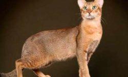 Чаузи 🐈 фото кошки, история и описание породы, характер, уход
