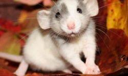 Крыса дамбо: фото, отличительные особенности, уход и содержание в домашних условиях