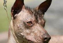 Ксолоитцкуинтли: все о собаке, фото, описание породы, характер, цена