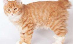 Карельский бобтейл 🐈 фото кошки, история и описание породы, характер, уход