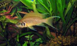 Принцесса Бурунди: аквариумная рыбка отряда цихлид, совместимость, питание и уход