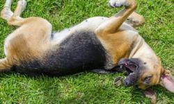 Судороги у собаки с пеной изо рта: причины и лечение, как оказать первую помощь при приступе, разновидности спазмов